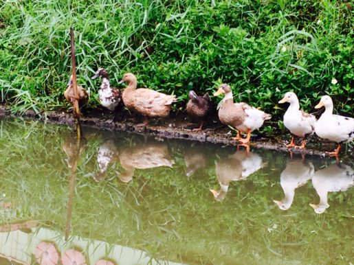 Duck reflections on a small Kerala canal
