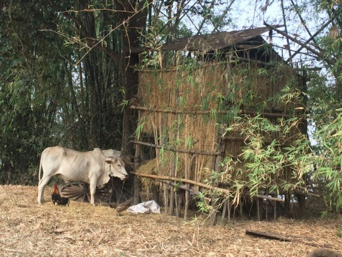 Cow and Cockerel, near a haystack on Koh Trong Island, Kratie, Cambodia