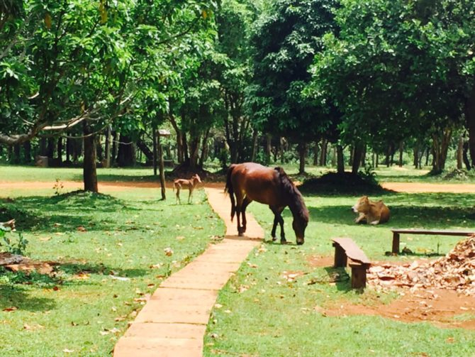 Horse and cows at Nature Lodge in Mondulkiri, Cambodia