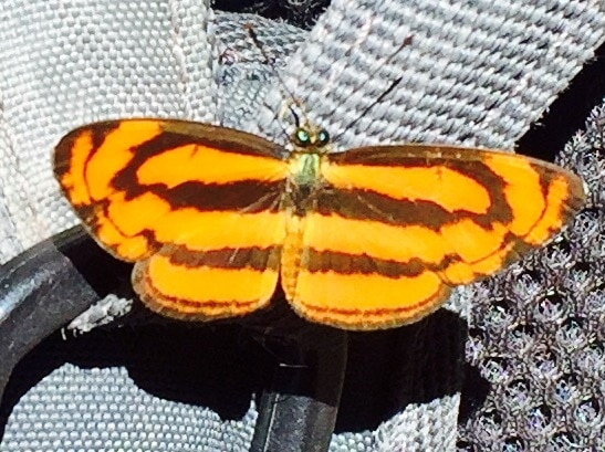 Colourful orange and brown butterfly in Nam Ha National Protected Area, Laos