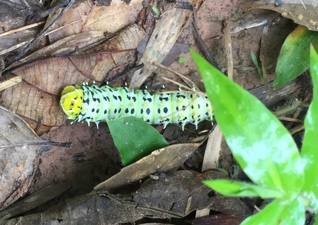 Colourful caterpillar in Nam Ha National Protected Areaa, Laos