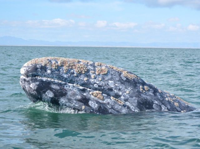Gray Whale Watching in Ojo de Liebre in Baja, Mexico