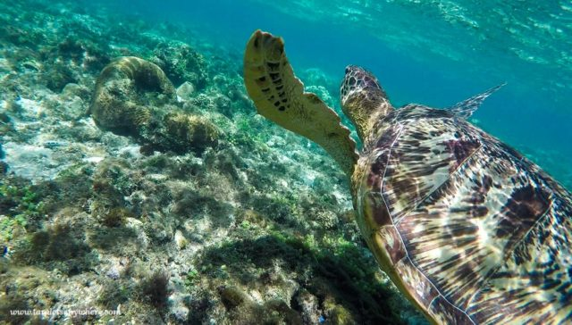 Sea turtle in the sea at Apo Island - ecotourism