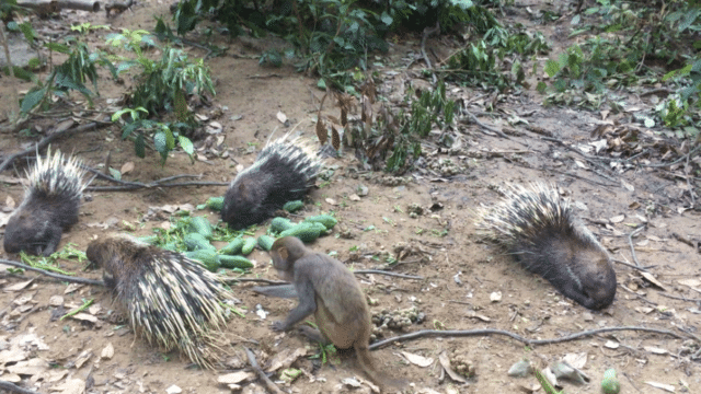 Monkey versus porcupines in the Semi-wild Enclosure in Phong Nha Botanical Gardens, Vietnam