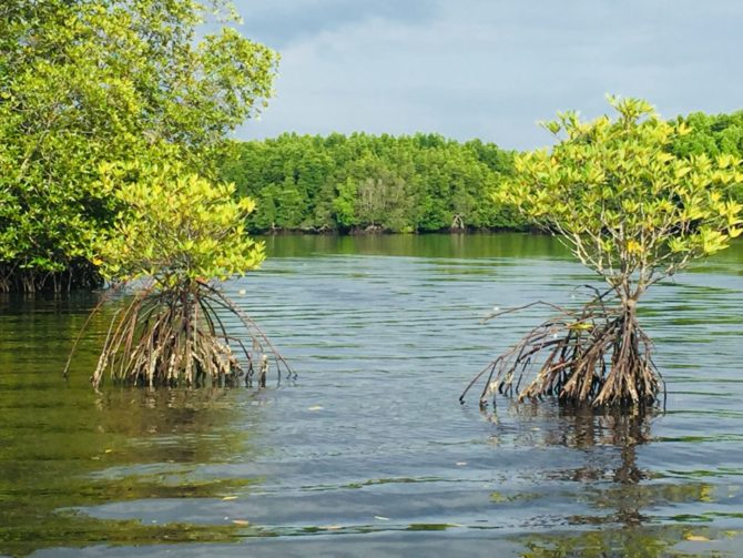 Mangroves near Koh Kong in Cambodia