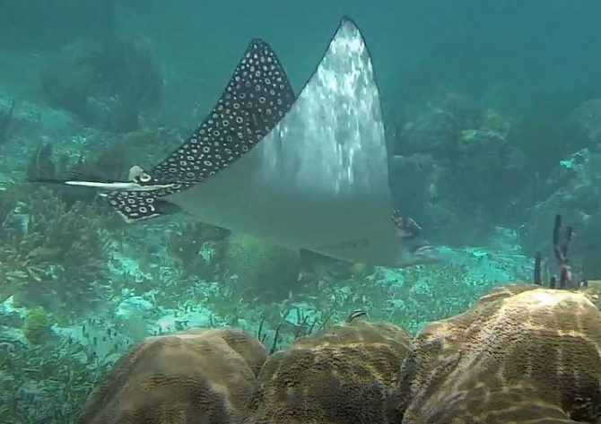 Spotted Eagle Ray Near Puerto Morelos Reef, Mexico