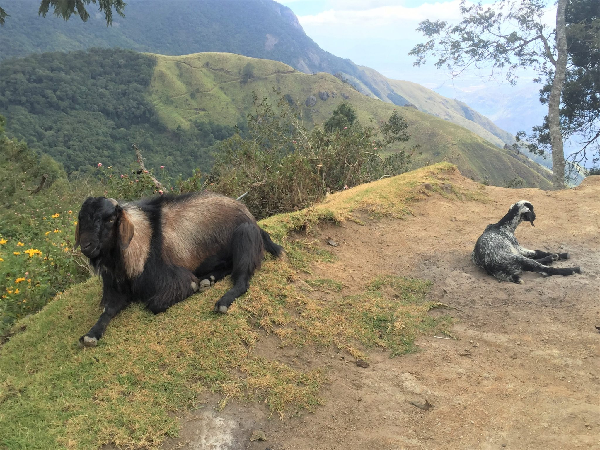 Goats laying calmly next to a sheer cliff in the Western Ghat Mountains, India.
