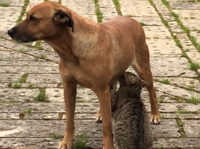 Fully grown cat suckling from a dog in Sicily
