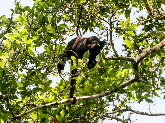 Howler Monkey at Tikal