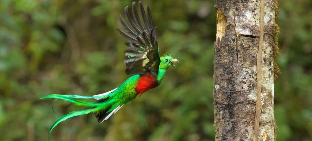 In Search of the Quetzal Bird in Biotopo del Quetzal | Guatemala