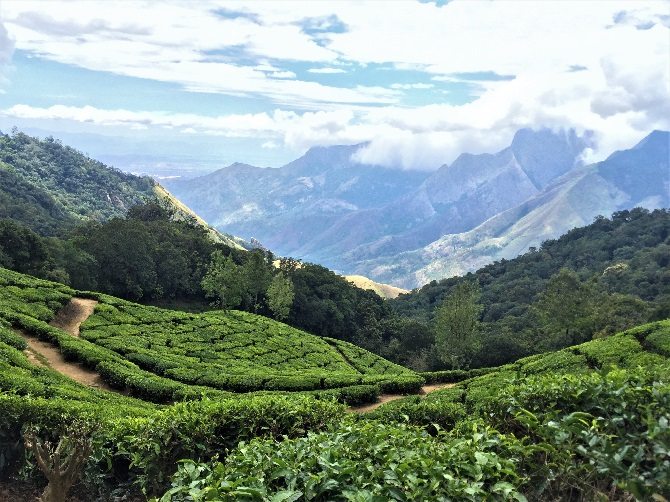 Looking down hill over a tea plantation with a massive valley and mountains in the background.